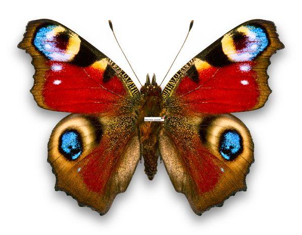http://img0.liveinternet.ru/images/attach/c/6/89/303/89303524_butterfly2081.jpg