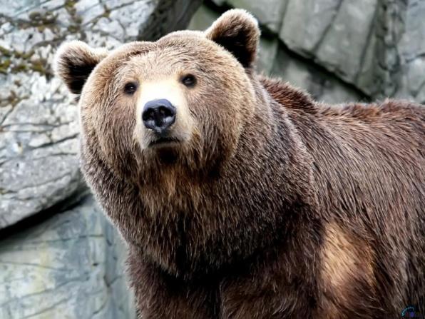 животные, медведь - 1920x1200