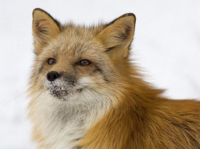 Картинка: лиса, лисица, рыжая, хитрая / 340932 / globalwalls…