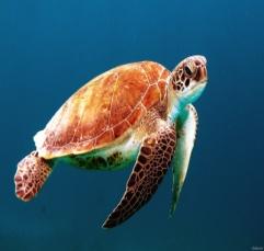 Скачать черепаха, морская, голова, ласты, панцирь, море, фото, обои, картинка #12381832 - 100500oboev.ru
