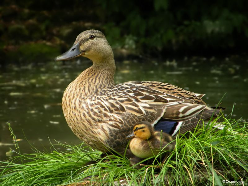 http://fermer02.ru/uploads/posts/2011-07/1311583996_mother-duck-and-duckling-a18753449.jpg