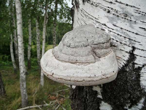 http://www.ikirov.ru/files/1204/Trutovik-nastojawij_Fomes-fomentarius.jpg