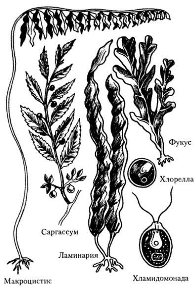 http://shkolo.ru/i/zelenye-i-burye-vodorosli.jpg