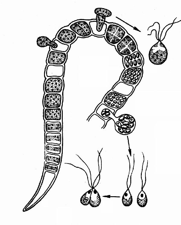 http://900igr.net/datai/biologija/Tkani-rastenij/0008-005-Morfologija-i-anatomija.png
