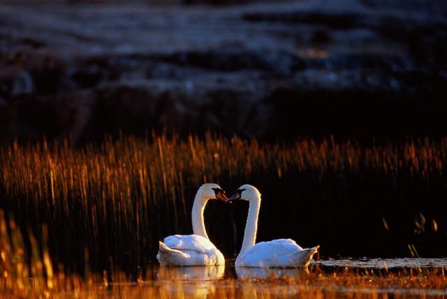 Лебеди пара