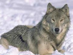 C:\РАБОТА\Разработки уроков\tender-snow-wolf.jpg2.jpg