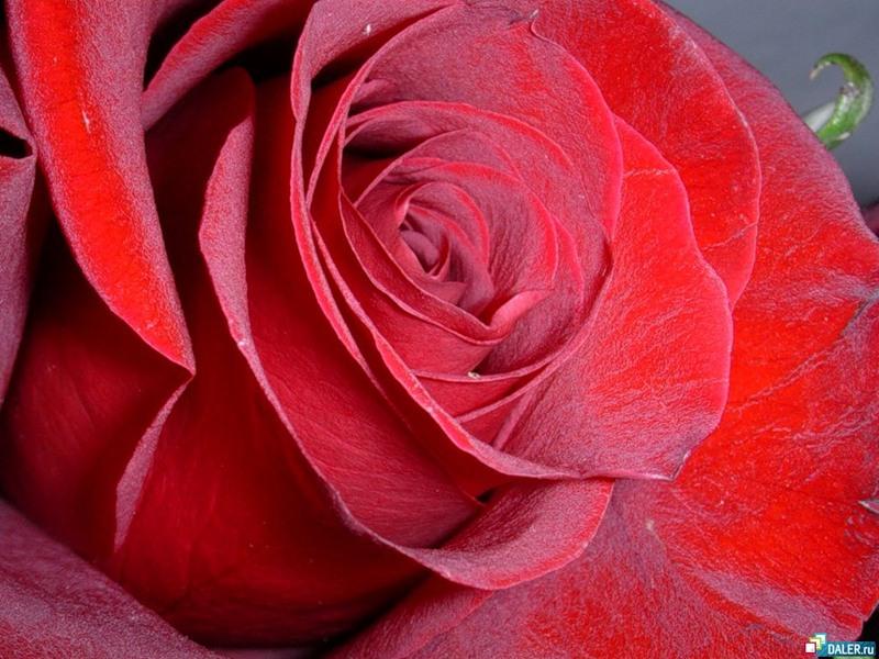 Роза.jpeg