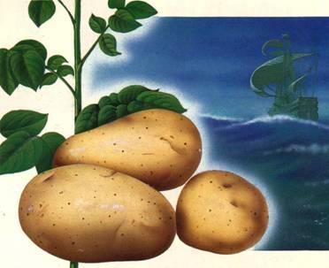 Картофель5.jpg