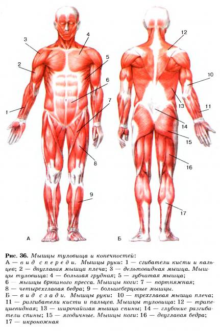 Доклад по биологии на тему строение мышц 7032